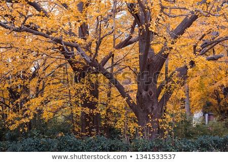 старые · клен · дерево · Японский · саду · красный - Сток-фото © craig