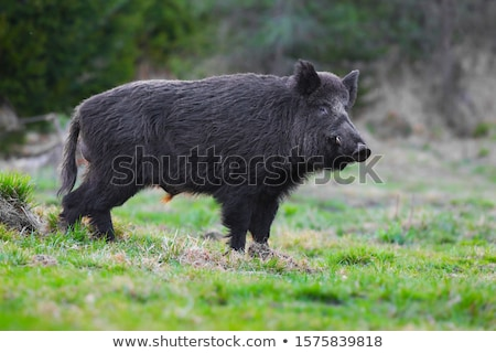 hunter on a wild boar Stock photo © mayboro