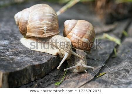 Helix pomatia mating Stock photo © Arrxxx