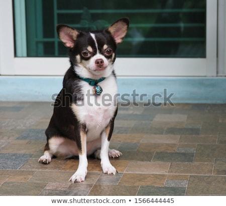 fajtiszta · portré · fekete · fajtiszta · kutya · szemben · kamera - stock fotó © eriklam