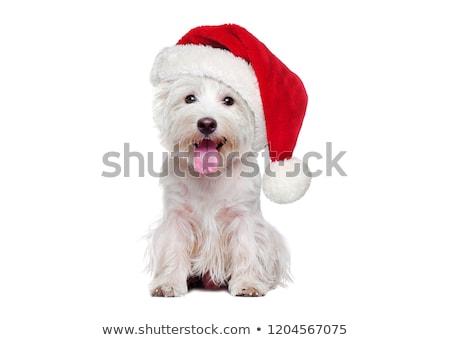 犬 · クリスマス · 帽子 · 白 · グレイハウンド · 18 - ストックフォト © vlad_star