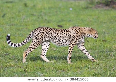 Gepárd sebesség állat afrikai turizmus emlős Stock fotó © ajlber