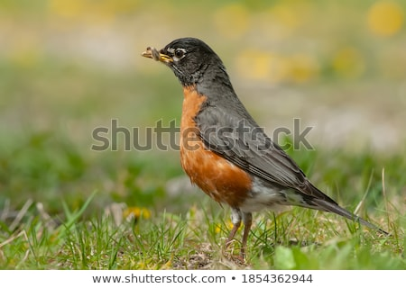 American Robin Holding a Worm Stock photo © rhamm