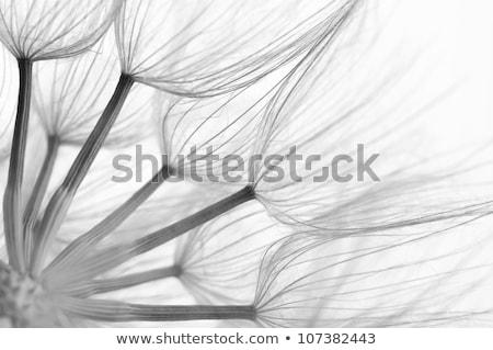 karahindiba · tohumları · rüzgâr · mavi · gökyüzü · gökyüzü - stok fotoğraf © ssilver