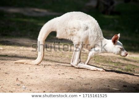 Albino kangoeroe shot springen jonge Stockfoto © saddako2