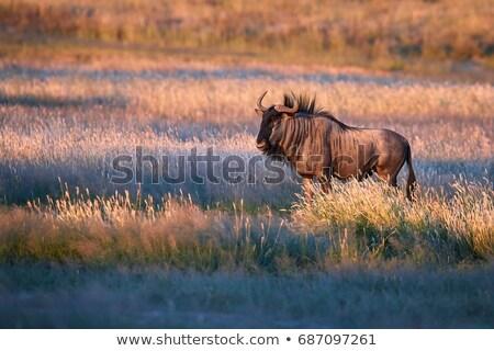 Blue Wildebeest (Connochaetes taurinus) Stock photo © dirkr