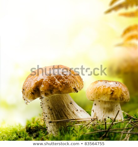 group of brown mushrooms in forest autumn outdoor stock photo © juniart