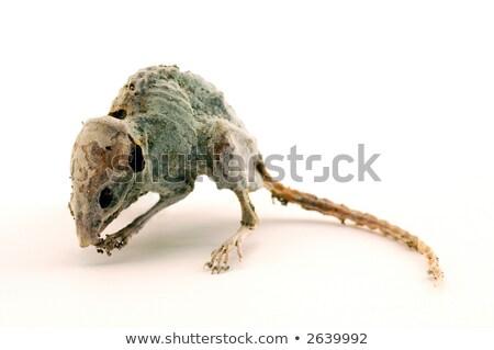 dead ratdry dead mouse stock photo © muang_satun