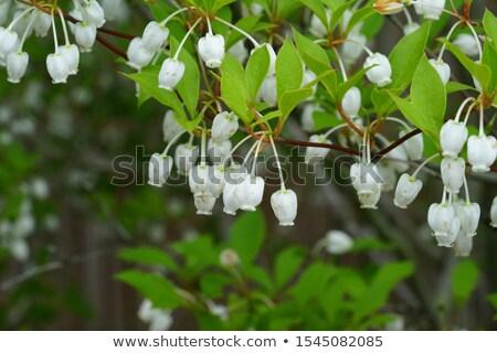 White Mantenboshi flowers stock photo © shihina