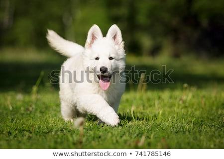 белый · пастух · красивой · собака · позируют · студию - Сток-фото © cynoclub