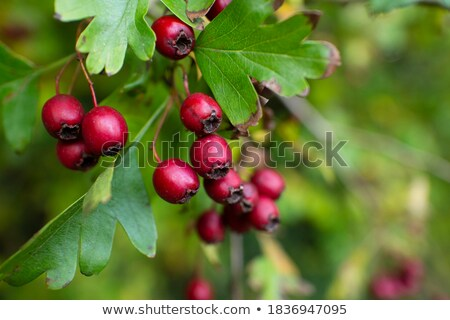 Photo of bush of redcurrant tree with leaves Stock photo © dla4