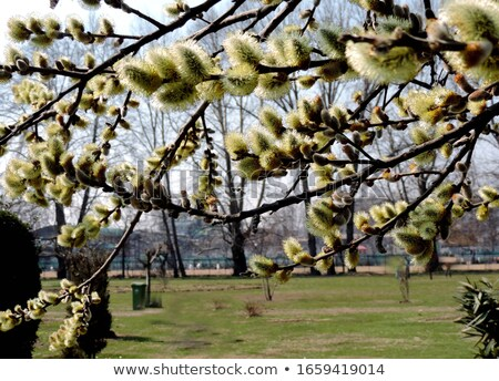 willow blossom stock photo © franky242
