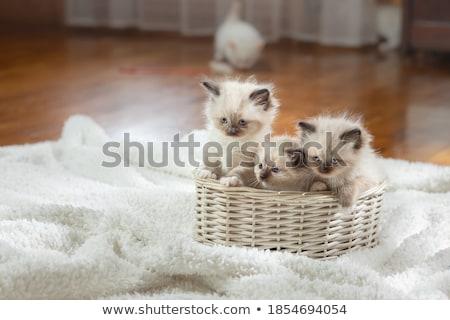Branco gatinho diversão retrato brinquedo animal Foto stock © aza