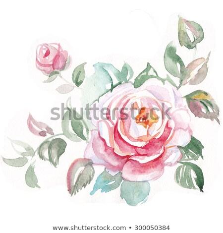 róż · wody · Fotografia · trzy · kroplami · wody · biały - zdjęcia stock © heliburcka