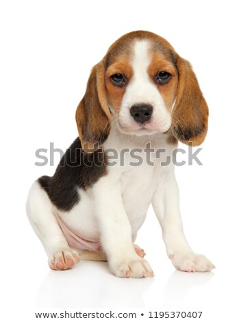 bigle · cachorro · branco · em · pé · ver · perfil - foto stock © master1305
