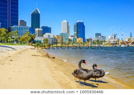 Fiume Swan famiglia uccello nuoto bianco Foto d'archivio © bezikus