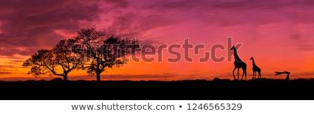 Impala on dark background Stock photo © byrdyak