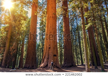 Giant Sequoia redwood trees in Sequoia national park Stock photo © CaptureLight