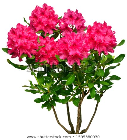 Rhododendron plants in spring Stock photo © LianeM