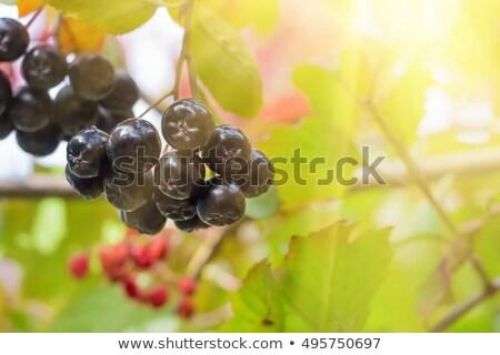 Fruitful ripe aronia berry fruit on the branch Stock photo © stevanovicigor