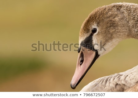 Mute Swan Close Up Stock photo © pictureguy