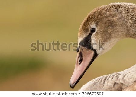 néma · hattyú · toll · madarak · folyó · fekete - stock fotó © pictureguy