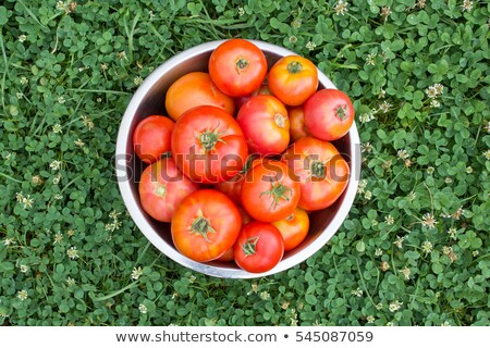 Homegrown organic tomatoes and plants on rustic wooden boards  Stock photo © tab62
