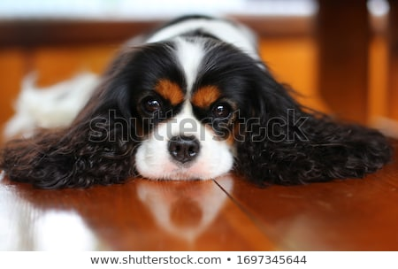 Stock photo: cute puppy Cavalier King Charles Spaniel in studio