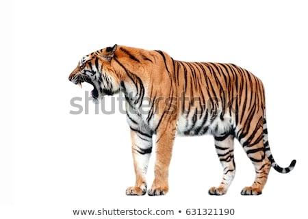 tijger · mascotte · grafische · vector · afbeelding · team - stockfoto © bluering