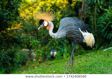 Grey crowned crane walking in the grass. Stock photo © simoneeman