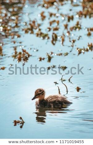 Mallard Duckling Swimming Alone through Sunlit Pond Water Stock photo © frannyanne