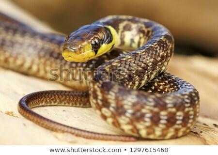 Serpiente retrato juvenil colorido médicos hermosa Foto stock © taviphoto