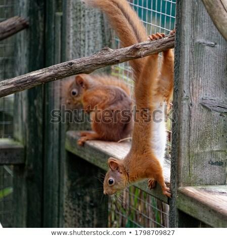 Close-up portrait of squirrel Stock photo © MikhailMishchenko