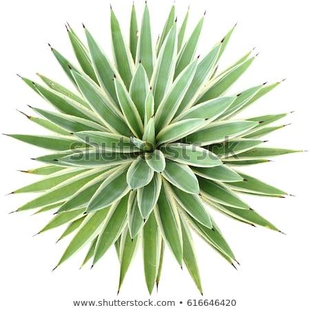 folhas · verde · agave · planta · céu · flor - foto stock © boggy