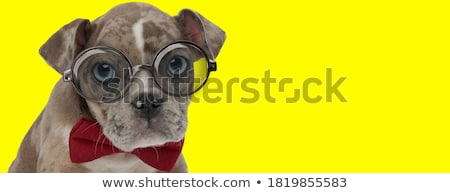 curious american bully puppy dog wearing bowtie looks up  Stock photo © feedough