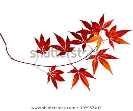 Japanese red acer maple leaves Stock photo © simply