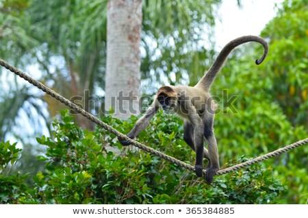 örümcek maymun halat doğa tırmanmak hayvanat bahçesi Stok fotoğraf © tilo