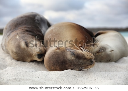 Animals Sea Lion Family in sand lying on beach Galapagos Islands - Cute adorable Stock photo © Maridav