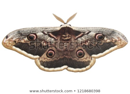 giant brown peacock moth on a white background Stock photo © galitskaya