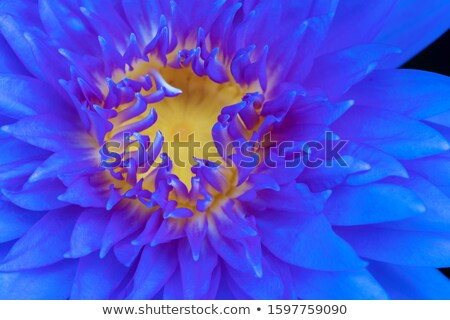 beautiful blossom purple lotus with yellow pollen and water drop stock photo © pinkblue