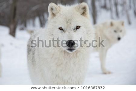 White artic wolf Stock photo © smithore