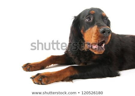Gordon setter laying down Stock photo © ivonnewierink