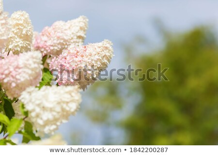 Multi Colored Hydrangea Bush With Blooms Stock photo © pixelsnap