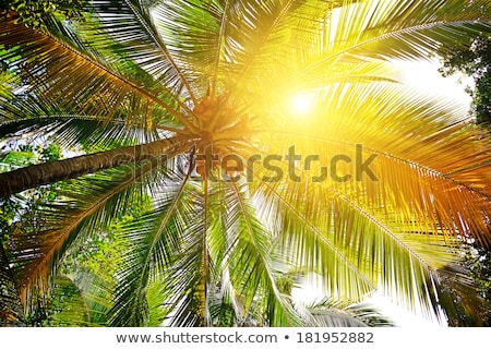 Viewing The Sun Through A Palm Frond Stockfoto © Serg64