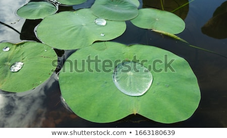 Lotus leaf and drop Stock photo © AlessandroZocc