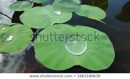 Lotus blad drop groen blad waterdruppel water Stockfoto © AlessandroZocc