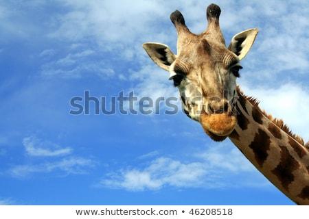Stock photo: Giraffe portrait, head and neck over blue sky