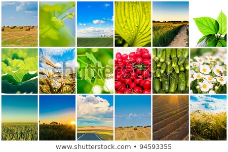 Hasat kavramlar tahıl kolaj tarım ayarlamak Stok fotoğraf © ryhor
