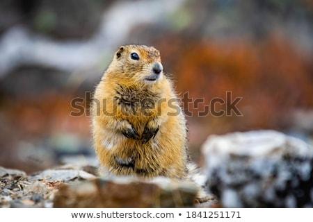 grond · eekhoorn · portret · ogen · reizen · afrika - stockfoto © bradleyvdw