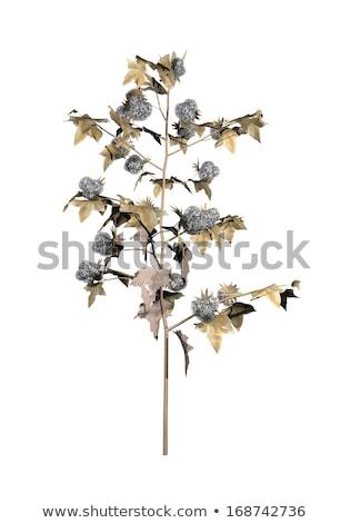 Algodón planta 3d uno flores Foto stock © Elenarts